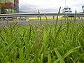 Starr-030612-0088-Stenotaphrum secundatum-flowering habit-Kahului-Maui (24339784790).jpg