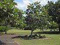 Starr-040318-0060-Artocarpus altilis-habit-Maui Nui Botanical Garden-Maui (24699626305).jpg