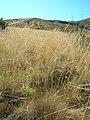 Starr-050815-3333-Anthoxanthum odoratum-habit-Pohakuokala Gulch-Maui (24148500814).jpg
