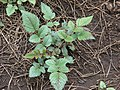Starr-070908-9208-Rubus niveus-form b sprouting after fire-Polipoli-Maui (24799414671).jpg