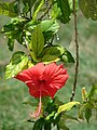 Starr-080531-4755-Hibiscus rosa sinensis-Psyche flower-Midway Mall Sand Island-Midway Atoll (24283812853).jpg
