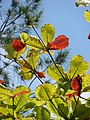 Starr-080608-7637-Terminalia catappa-leaves-West Beach Sand Island-Midway Atoll (24890428826).jpg