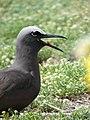 Starr-080612-8695-Lobularia maritima-habit with brown noddy vocalizing-South Beach Sand Island-Midway Atoll (24553297259).jpg