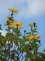 Starr-090416-5974-Tithonia diversifolia-flowers-Makawao-Maui (24925644126).jpg