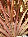 Starr-090426-6327-Phormium tenax-leaves-Kulamalu Town Center Kula-Maui (24926209716).jpg