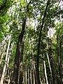 Starr-090714-2827-Swietenia macrophylla-plantation-Honokahau Valley-Maui (24943491196).jpg