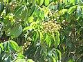 Starr-090721-3286-Dimocarpus longan-fruit and leaves-Wailuku-Maui (24602900629).jpg
