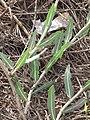 Starr-090814-4302-Lactuca sativa-leaves-Mokulele Hwy-Maui (24945898206).jpg