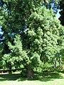 Starr-091104-0898-Afrocarpus falcatus-habit-Kahanu Gardens NTBG Kaeleku Hana-Maui (24357202194).jpg