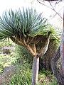 Starr-110307-2095-Dracaena draco-habit-Kula Botanical Garden-Maui (25051231996).jpg