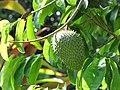 Starr-110330-3834-Annona muricata-fruit and leaves-Garden of Eden Keanae-Maui (24785199720).jpg