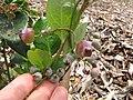 Starr-110621-6279-Vaccinium hybrid-Southern highbush cv Sharpblue fruit-Hawea Pl Olinda-Maui (24466606884).jpg