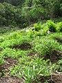 Starr-120229-9114-Ipomoea batatas-plantings-Waikapu Valley-Maui (24841010630).jpg