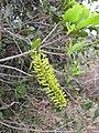 Starr-120319-3965-Macadamia integrifolia-some leaf margins entire-Upper Kimo Kula-Maui (25019829942).jpg