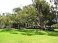 Starr-120510-5682-Cinnamomum camphora-habit in yard-Ka Hale Olinda-Maui (25116069856).jpg