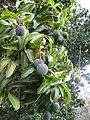 Starr-120608-9590-Mangifera indica-fruit and leaves-Ulupalakua Ranch-Maui (24849767350).jpg