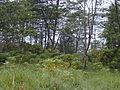 Starr 011205-0123 Bocconia frutescens.jpg