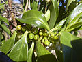 Starr 040723-0067 Myoporum sandwicense.jpg