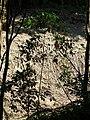 Starr 041113-0637 Cinchona pubescens.jpg