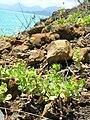 Starr 050419-0394 Anagallis arvensis.jpg