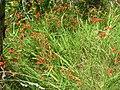 Starr 050817-3942 Crocosmia x crocosmiiflora.jpg