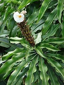 Des vertus des plantes par Macer Floridus, 1832 220px-Starr_070321-6124_Costus_speciosus