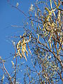 Starr 071225-0676 Prosopis glandulosa.jpg