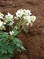 Starr 081230-0659 Montanoa hibiscifolia.jpg