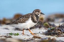 Un tournepierre  à collier adulte en plumage internuptial à Heligoland, une île allemande.