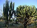 Stenocereus montanus and Myrtillocactus geometrizans (5710477644).jpg