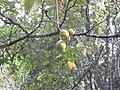 Sterculia guttata-2-braemore-kerala-India.jpg