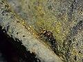 Stingless Bee (Tetrigona binghami) (15681886202).jpg