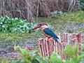 Stork-billed Kingfisher from Adat, Thrissur by Manoj Karingamadathil.jpg