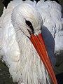 Stork لک لک 07.jpg