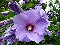 Straucheibisch blaue Blüten.JPG