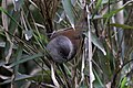 Streak-throated Fulvetta.jpg