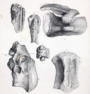 Streptospondylus - Material referred to S. major by Owen