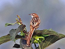 Striated Grassbird (Megalurus palustris) at Kolkata I IMG 2681.jpg