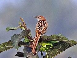 Striated Grassbird (Megalurus palustris) at Kolkata I IMG 2681.jpg