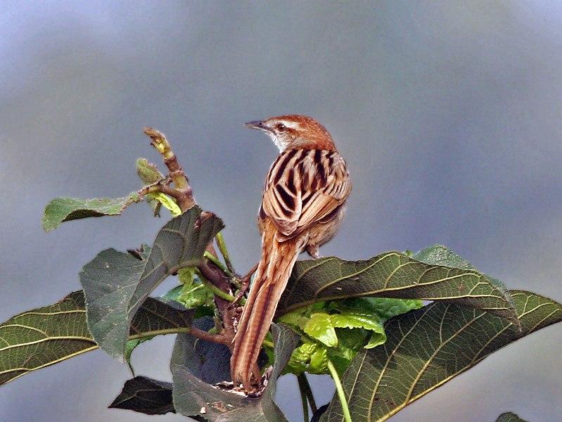 Striated Grassbird (Megalurus palustris) at Kolkata I IMG 2681