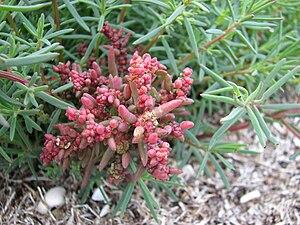 Suaeda australis - Image: Suaeda australis