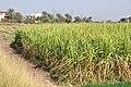 Sugar Cane R01.jpg