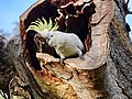 Sulfur-crested Cockatoo (36383076710).jpg