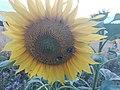 Sunflower Dortmund 52.jpg