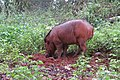 Sus scrofa - Wild boar during Periyar butterfly survey at Sabarimala, 2014 (36).jpg