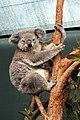 Sydney Wildlife World Koala Joey Boonda (5879703472).jpg