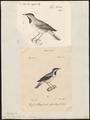 Sylvia rüppellii - 1700-1880 - Print - Iconographia Zoologica - Special Collections University of Amsterdam - UBA01 IZ16200165.tif