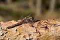 Sympetrum vulgatum (female) sunbathing on a pine branch.jpg
