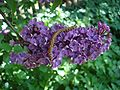 Syringa flower 2008.JPG