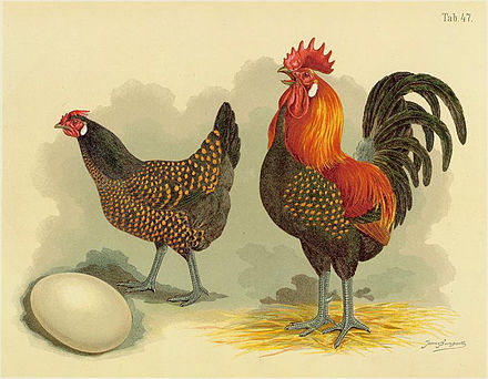 List Of Chicken Breeds Wikiwand